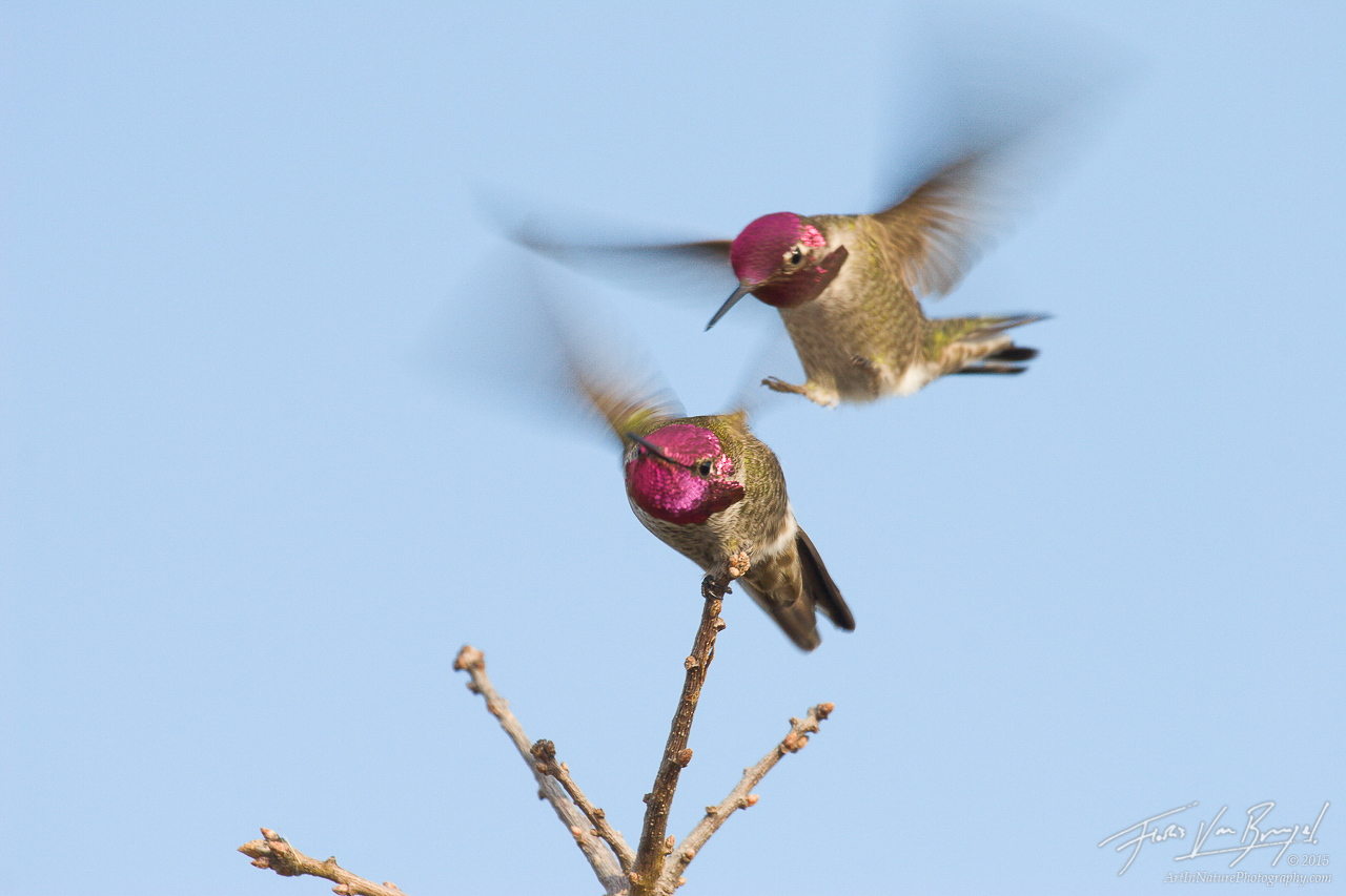 Fighting Annas Hummingbird, Mt Diablo State Park, California, photo