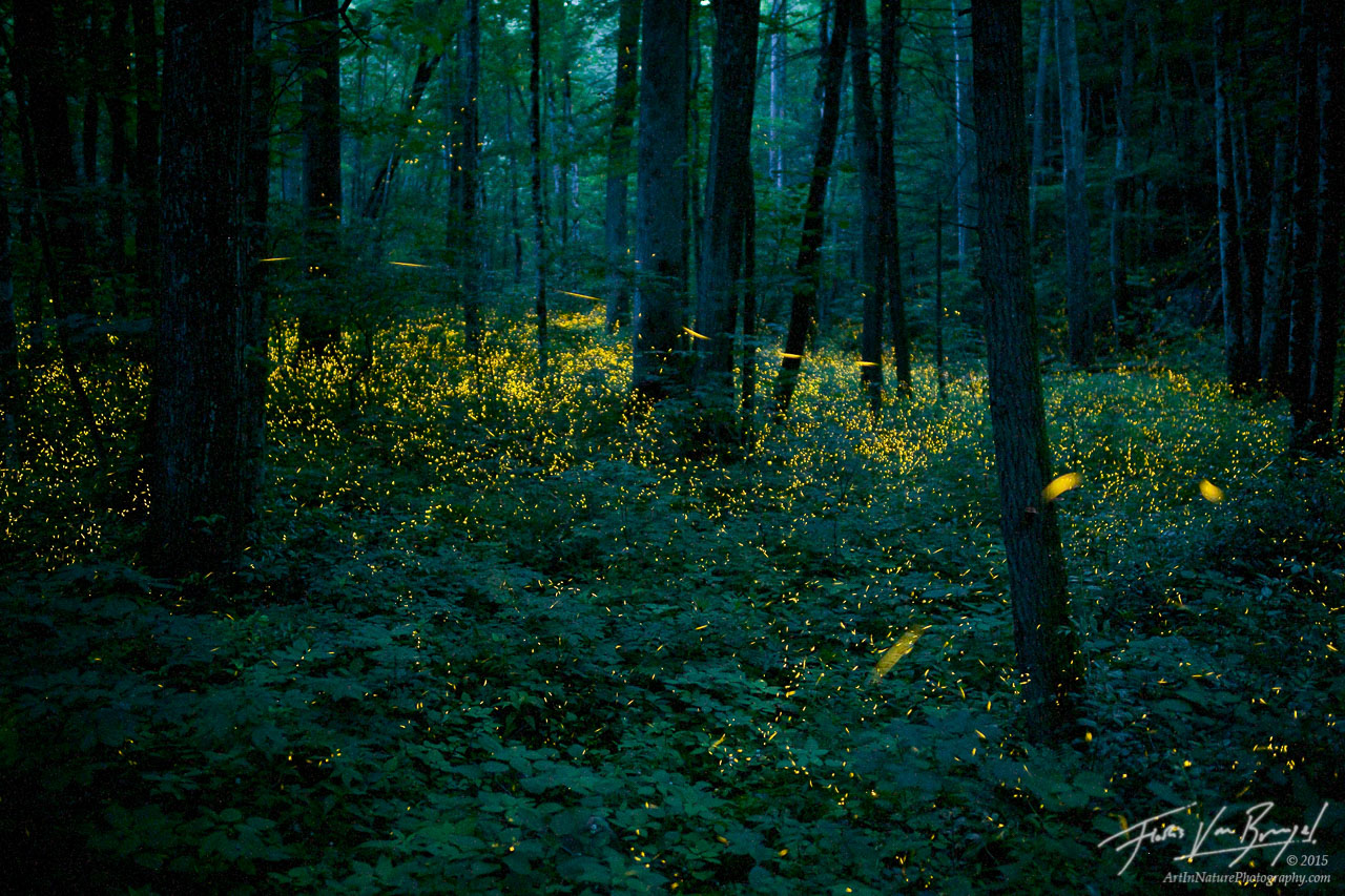 Fireflies in Forest, Smoky Mountains, Tennessee , photo