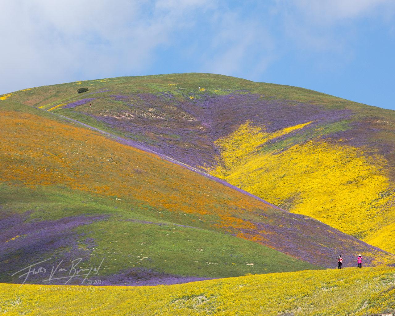 Carrizo Plains, Superbloom, Flowers, photo