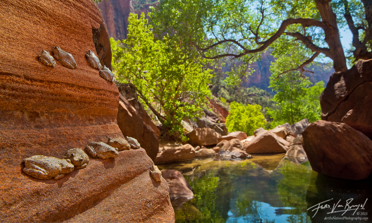 Canyon Tree Frogs in Zion National Park, Pine Creek Canyon, Southwest, photo