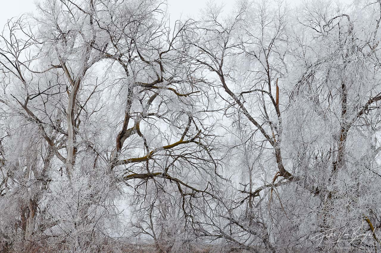 Icy Crystals, Cottonwood Trees, Eastern Washington, photo