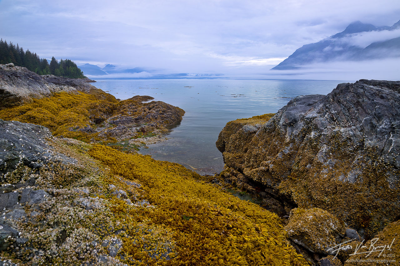 Golden Seaweed at Lowtide, Glacier Bay, Alaska, photo