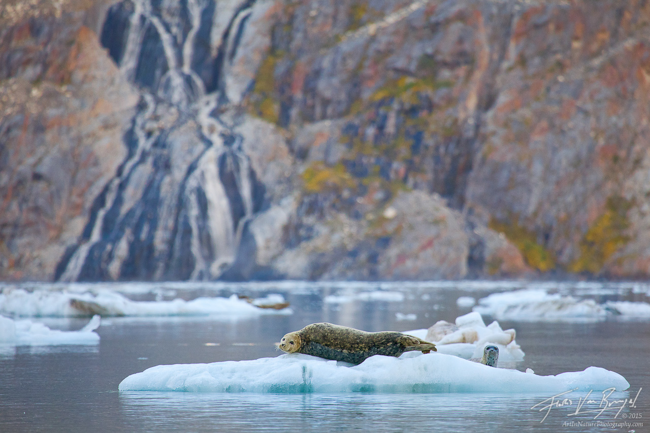 Harbor Seal, Johns Hopkins Inlet, Glacier Bay National Park, photo