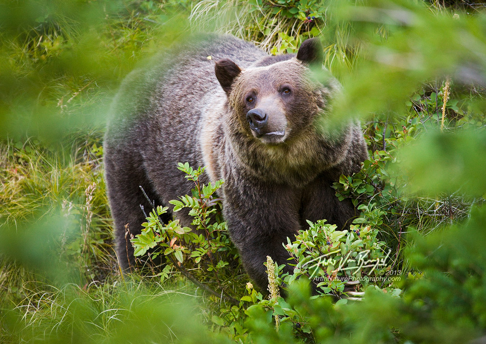 Grizzly Bear, Glacier National Park, Montana, photo