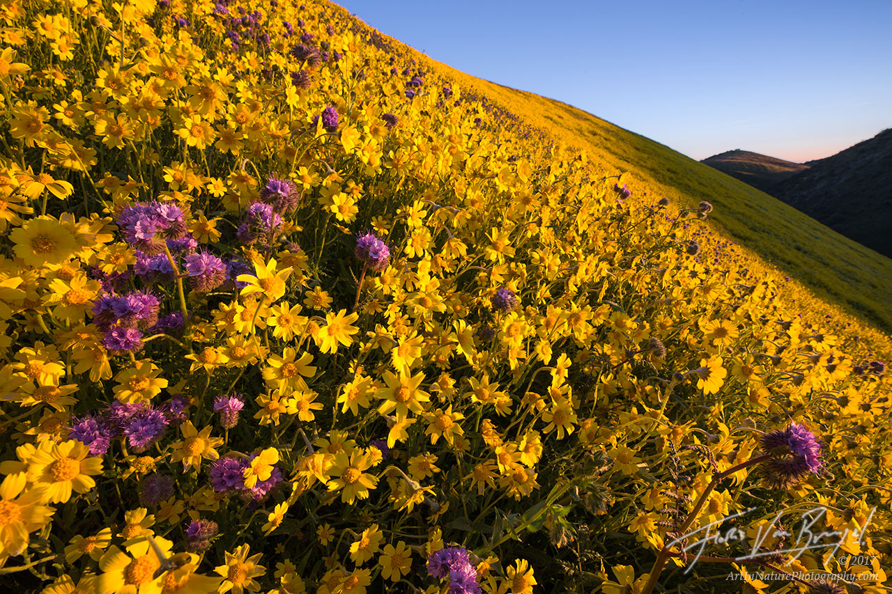 Carrizo Plains, Superbloom, Flowers, photo