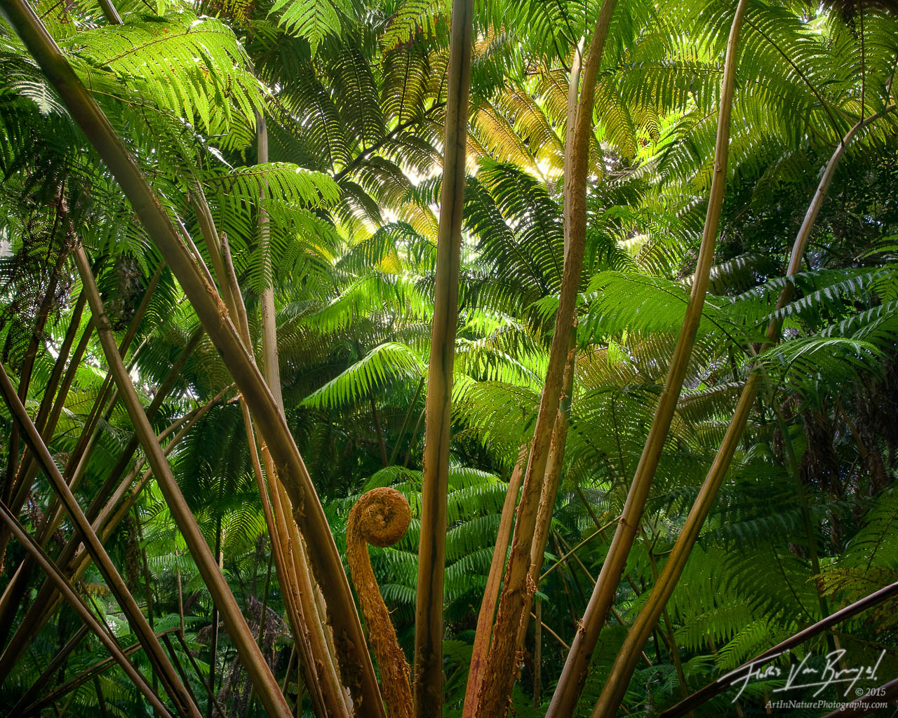 Forest of Ferns, Volcanoes National Park, Hawaii, Hapu'u, photo