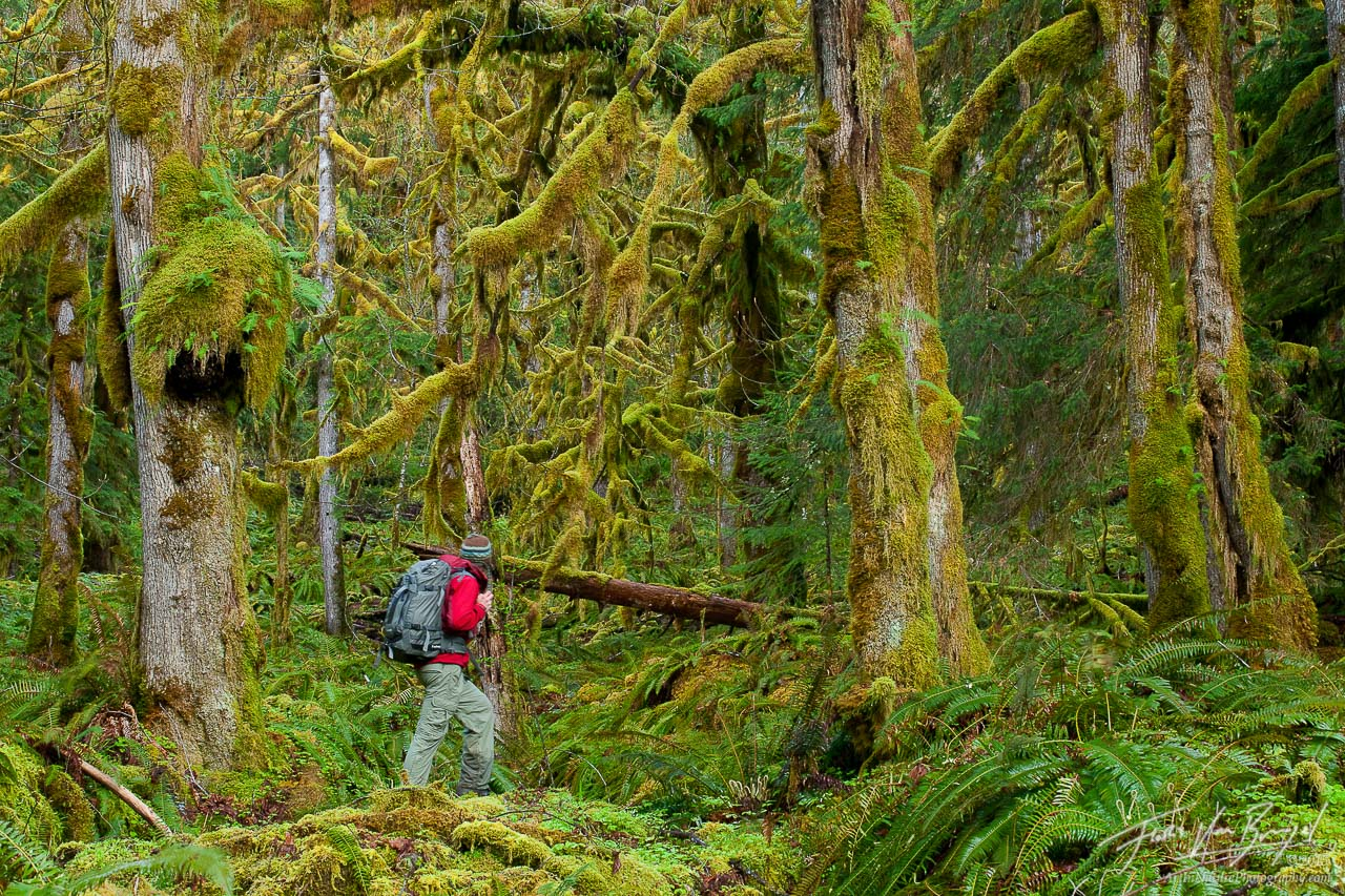 Hiker in Temperate Rainforest, Olympic National Park, Washington, photo