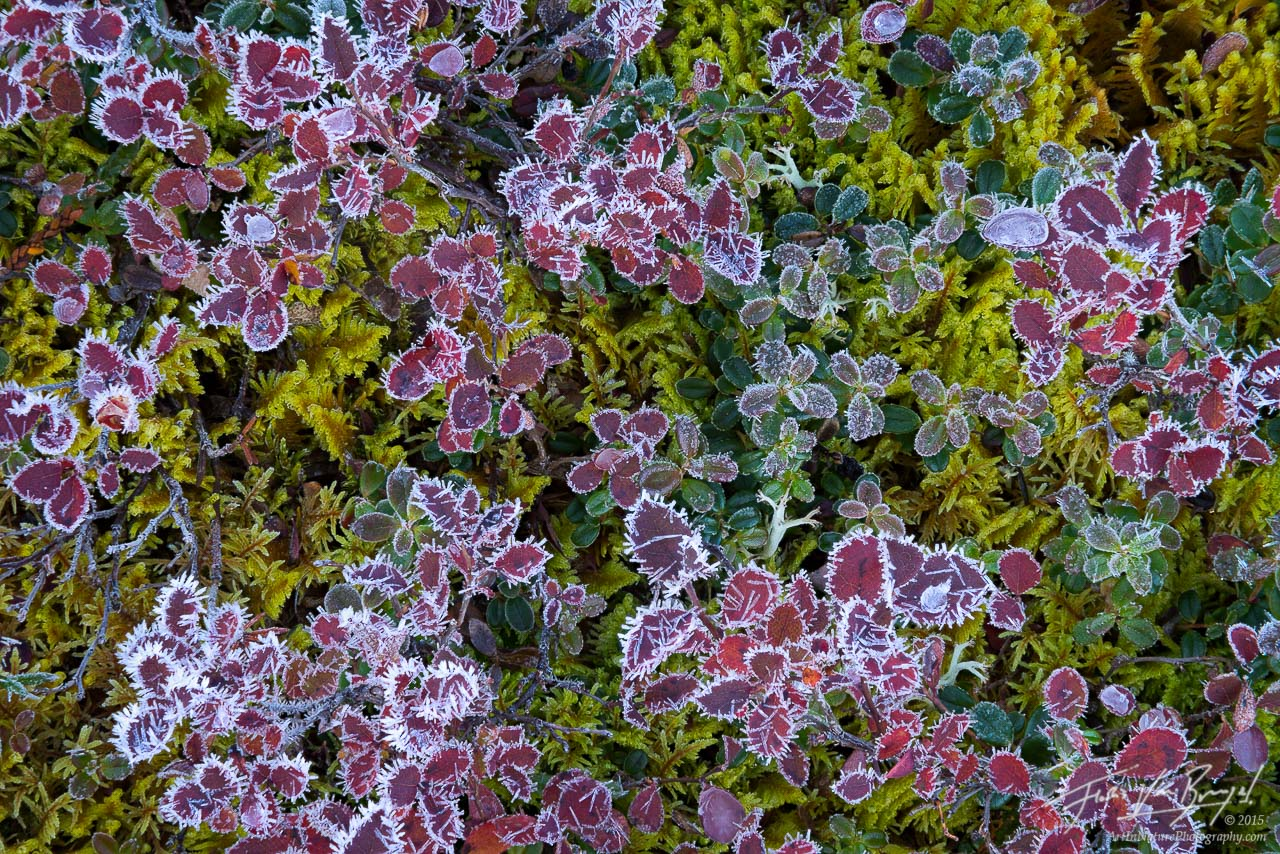 Frosted Blueberry Bushes, Brooks Range, Alaska, photo