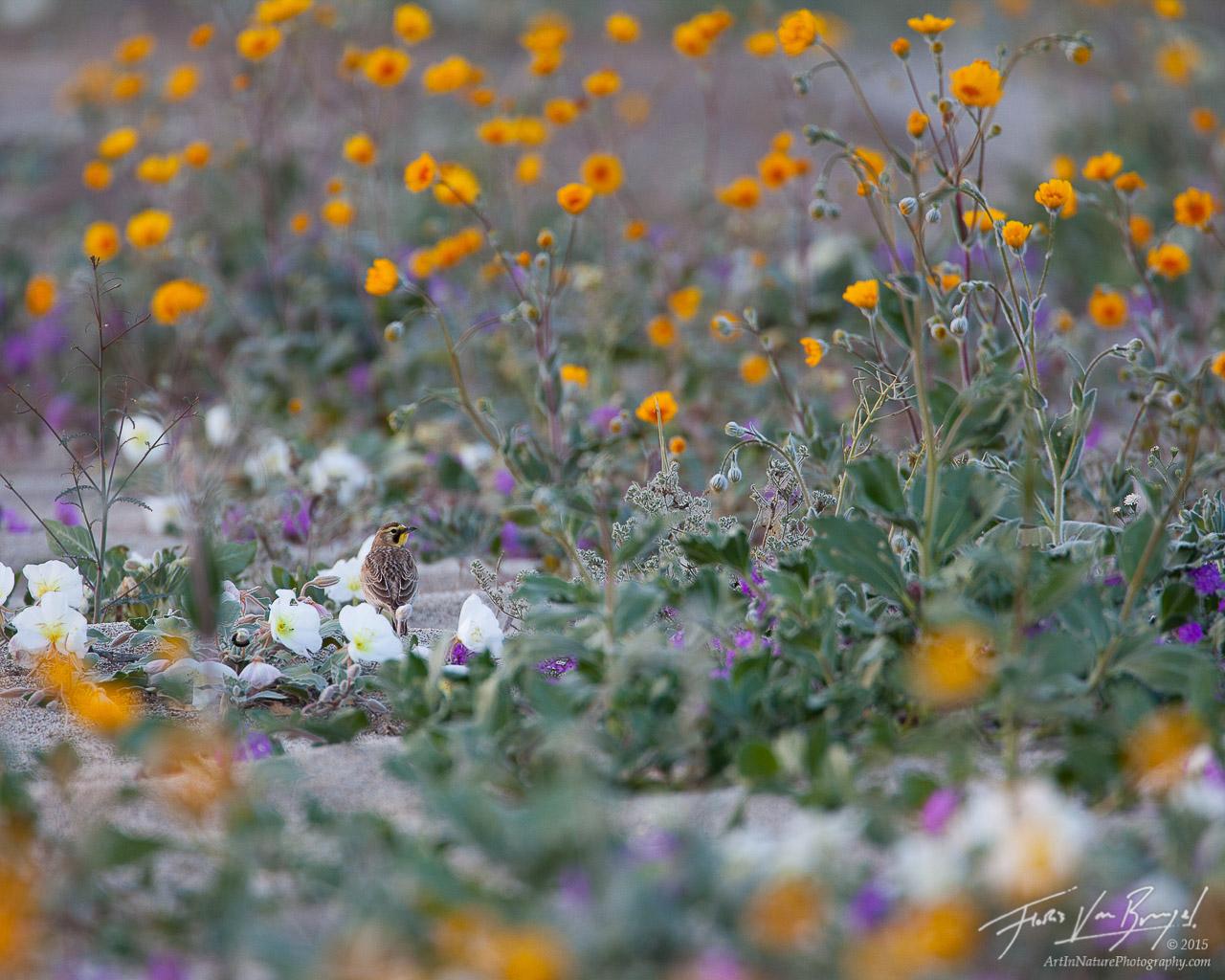 Horned Lark, Wildflowers, Anza-Borrego, photo