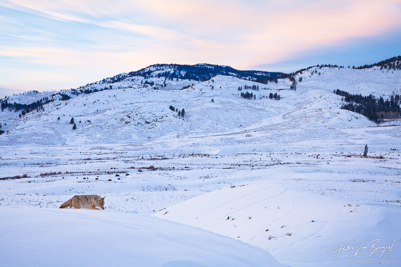 Hunting Coyote, Lamar Valley, Yellowstone National Park, photo