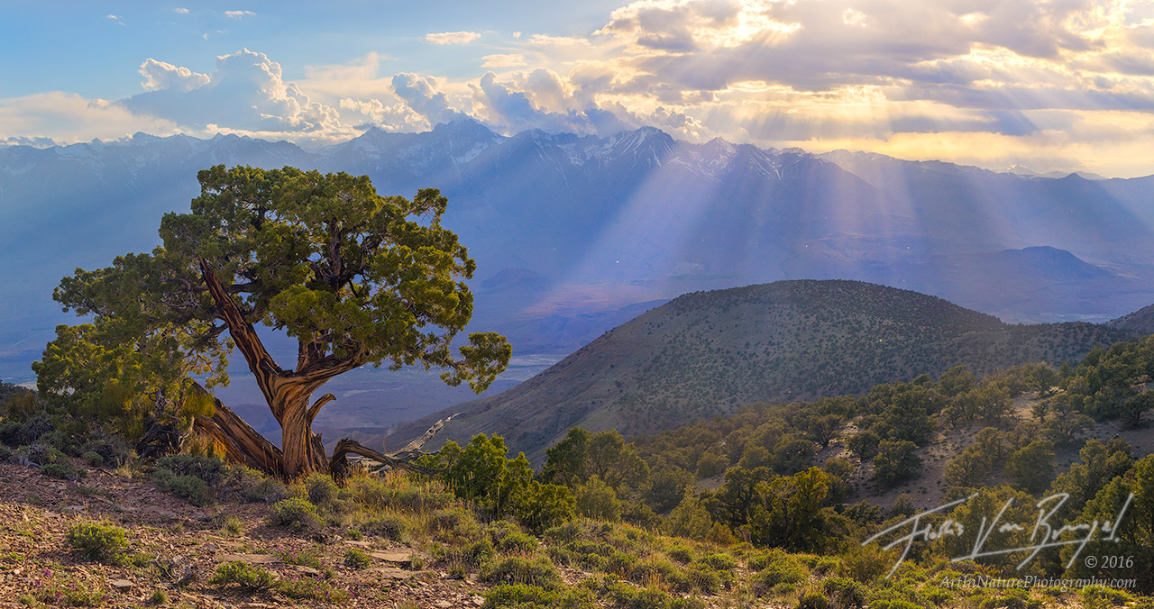 Juniper Tree, Inyo Mountains, Sierra Nevada, photo