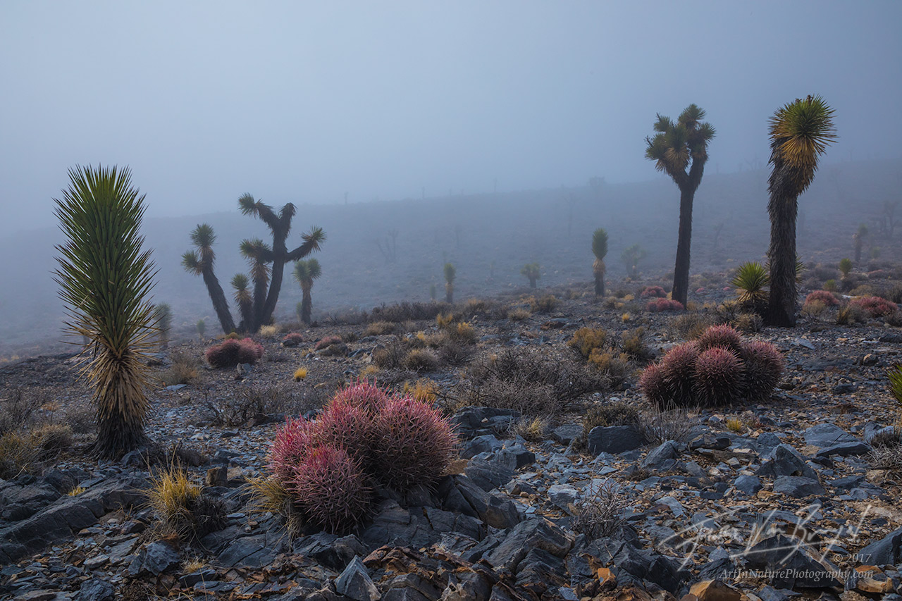 Joshua Trees, Fog, Death Valley National Park, photo