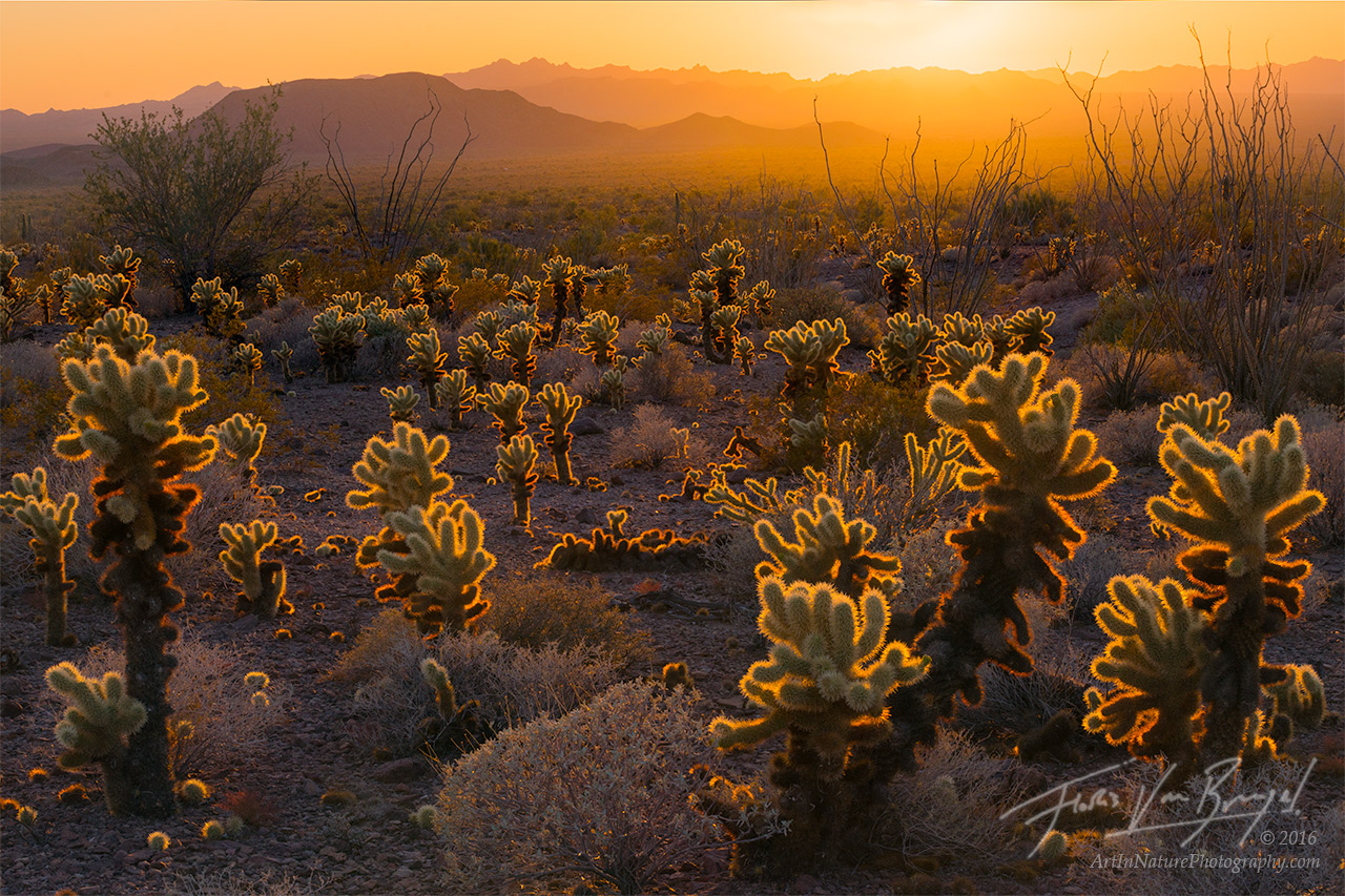 Cholla Cacti, Kofa Mountains, Arizona, photo
