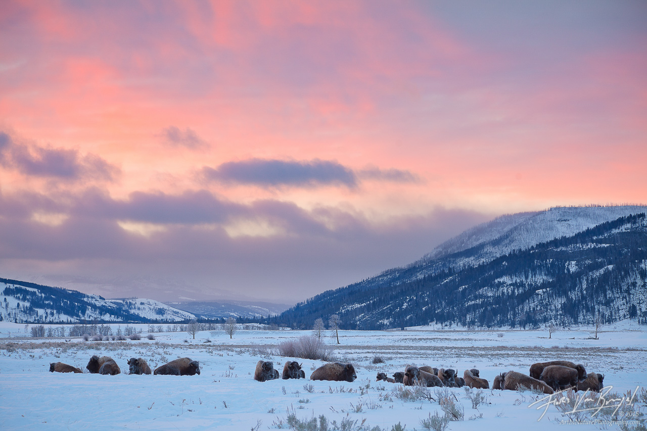 Bison Herd at Sunrise, Lamar Valley, Yellowstone National Park, photo