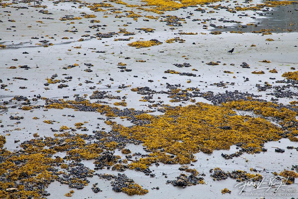 Tidal Flats, Pelican, Southeast Alaska, photo