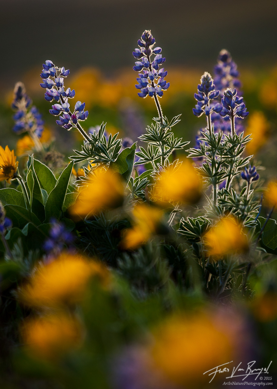 Lupine and Balsamroot Flowers, Columbia Hills, Washington, photo