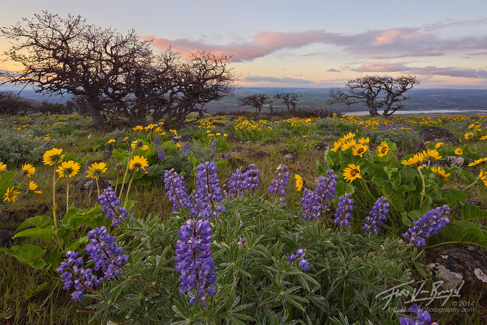 Lupine and Balsamroot, Columbia River Gorge Springtime, Washington, photo