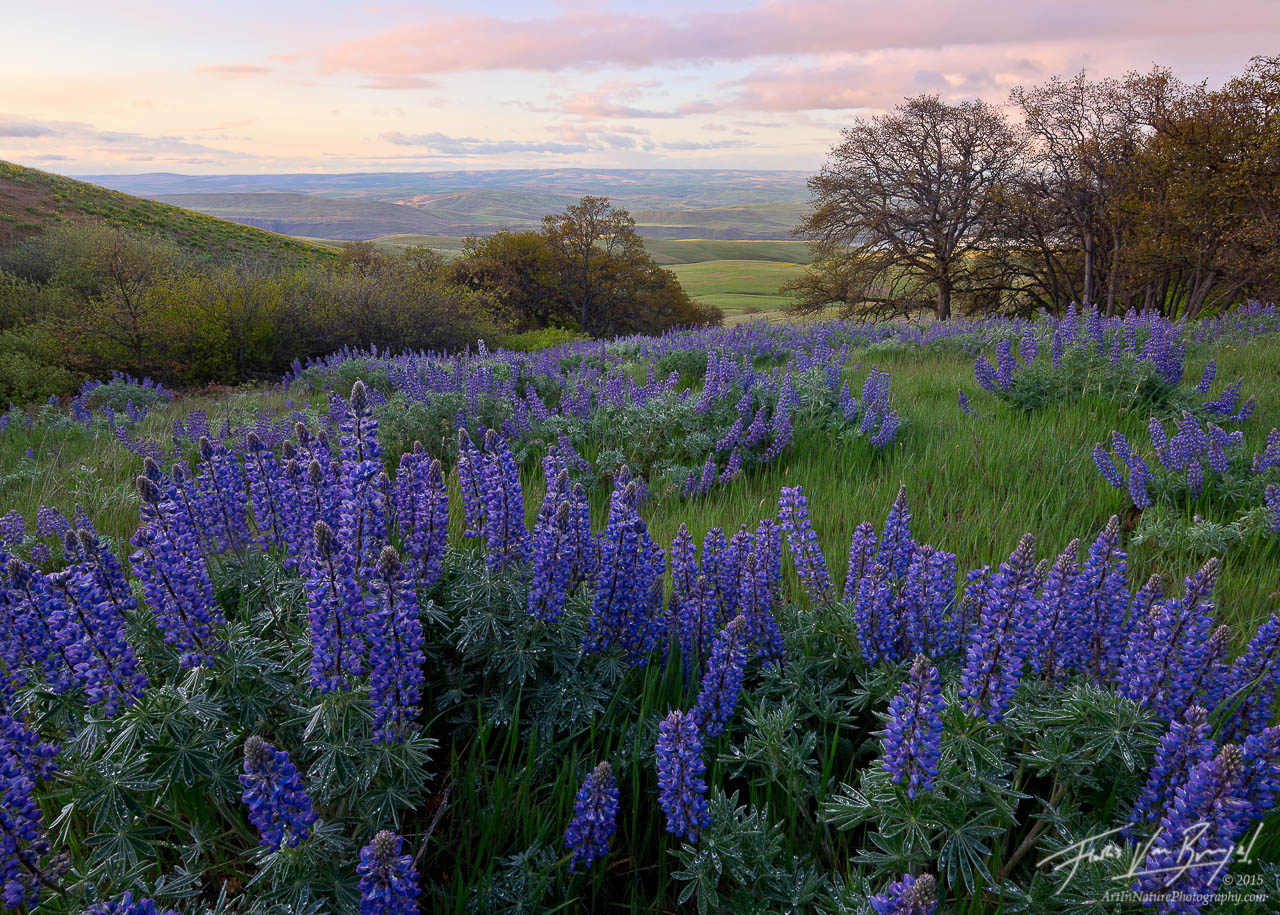 Lupine, Spring Flowers, Columbia River Gorge, photo