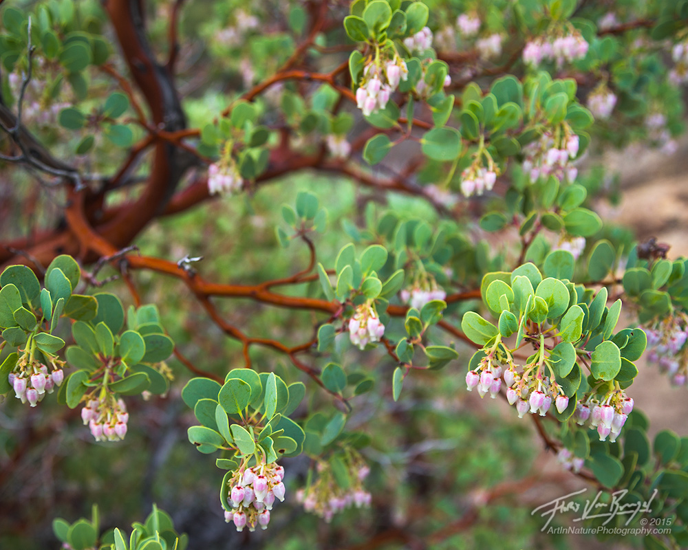Manzanita Flowers, San Gabriel Mountains, California, photo