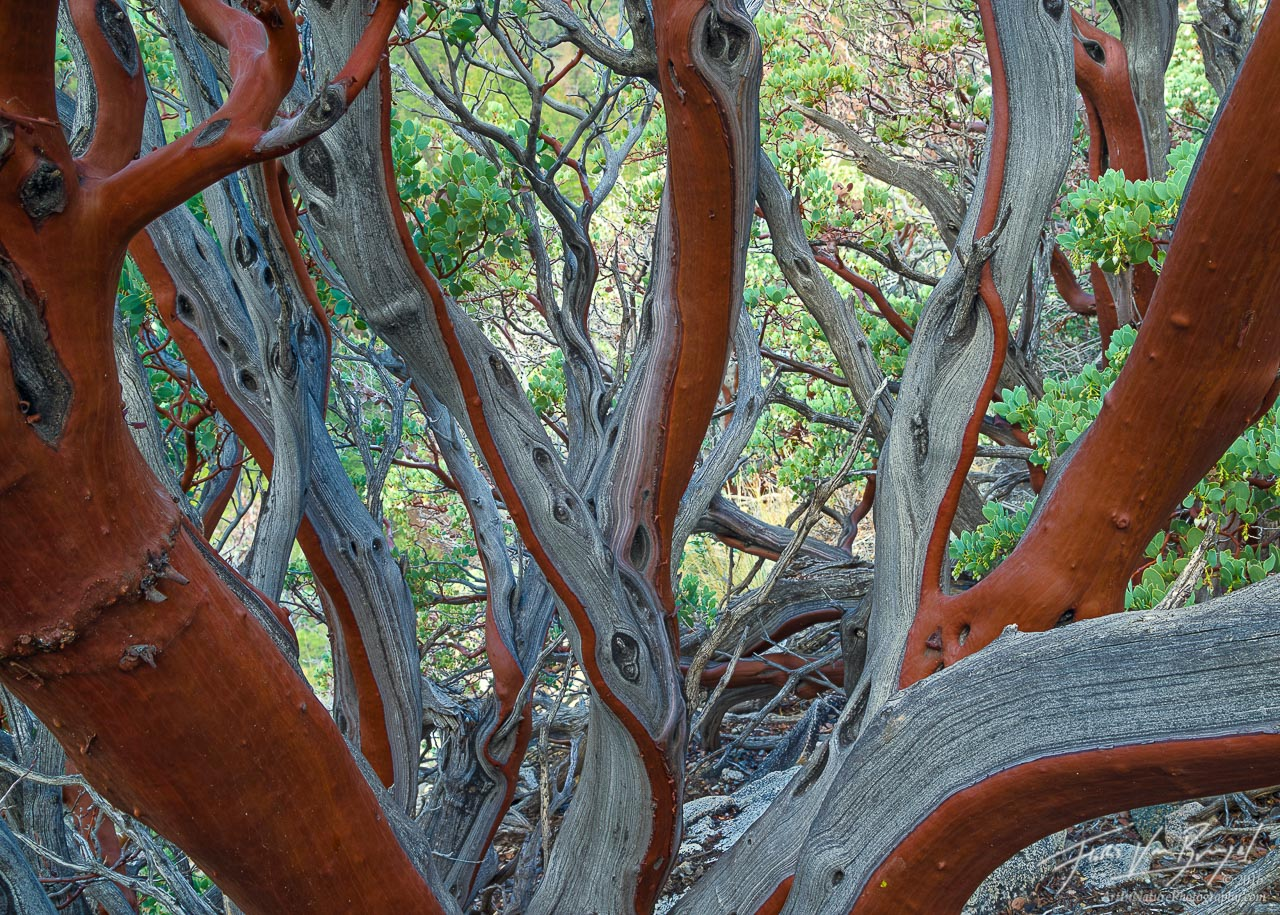 Manzanita, Arctostaphylos, California, photo