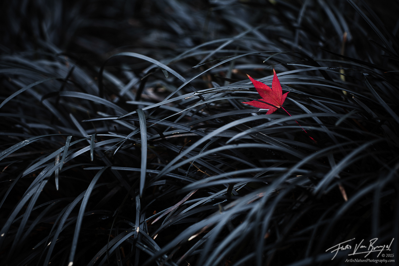 The Fallen, Maple Leaf, Black Mondo Grass, photo