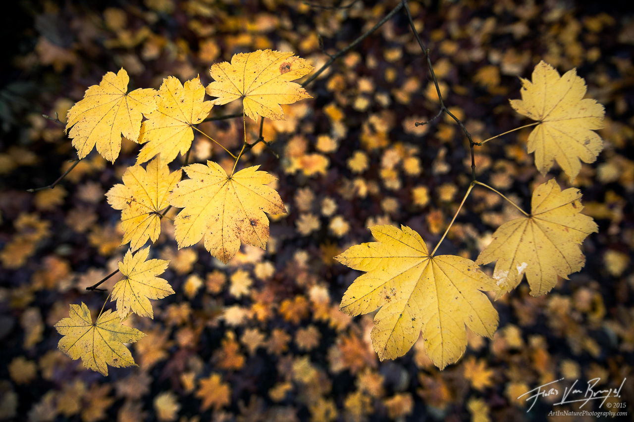 Autumn Maple Leaves, Carkeek Park, Seattle, photo