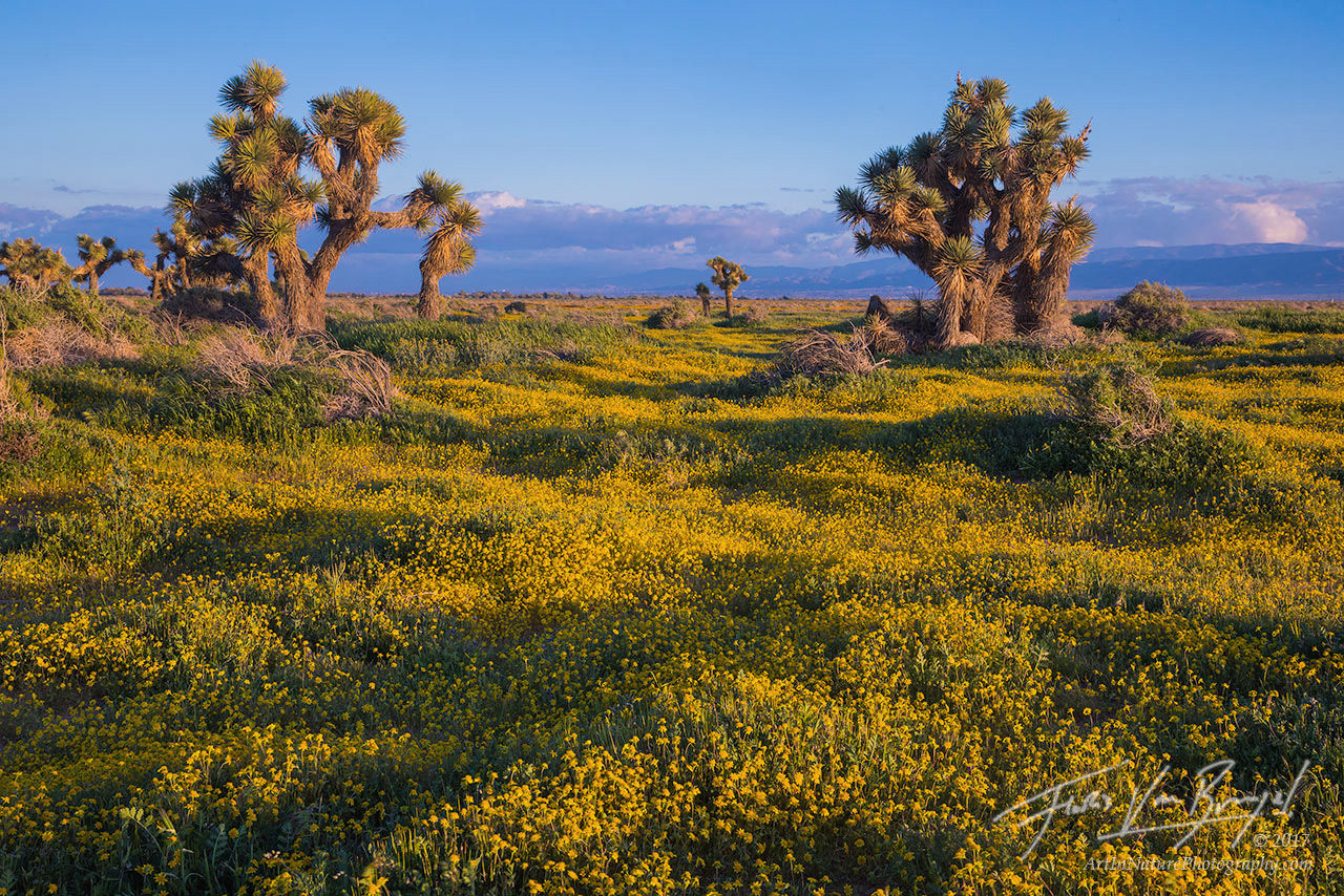 Goldfields, Spring, Joshua Trees