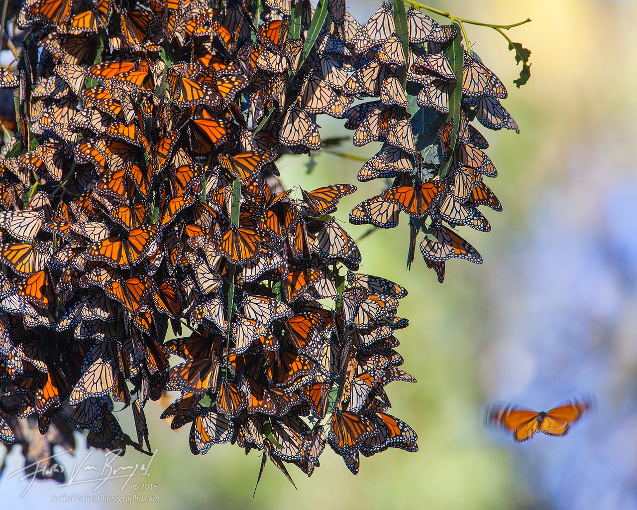 Monarch Butterflies, Pismo Beach, California, photo