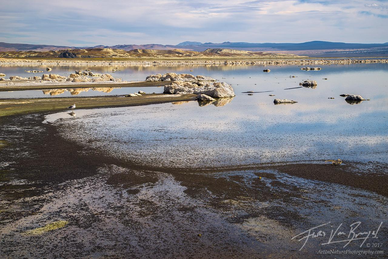 mono lake, alkali flies, seagull, photo