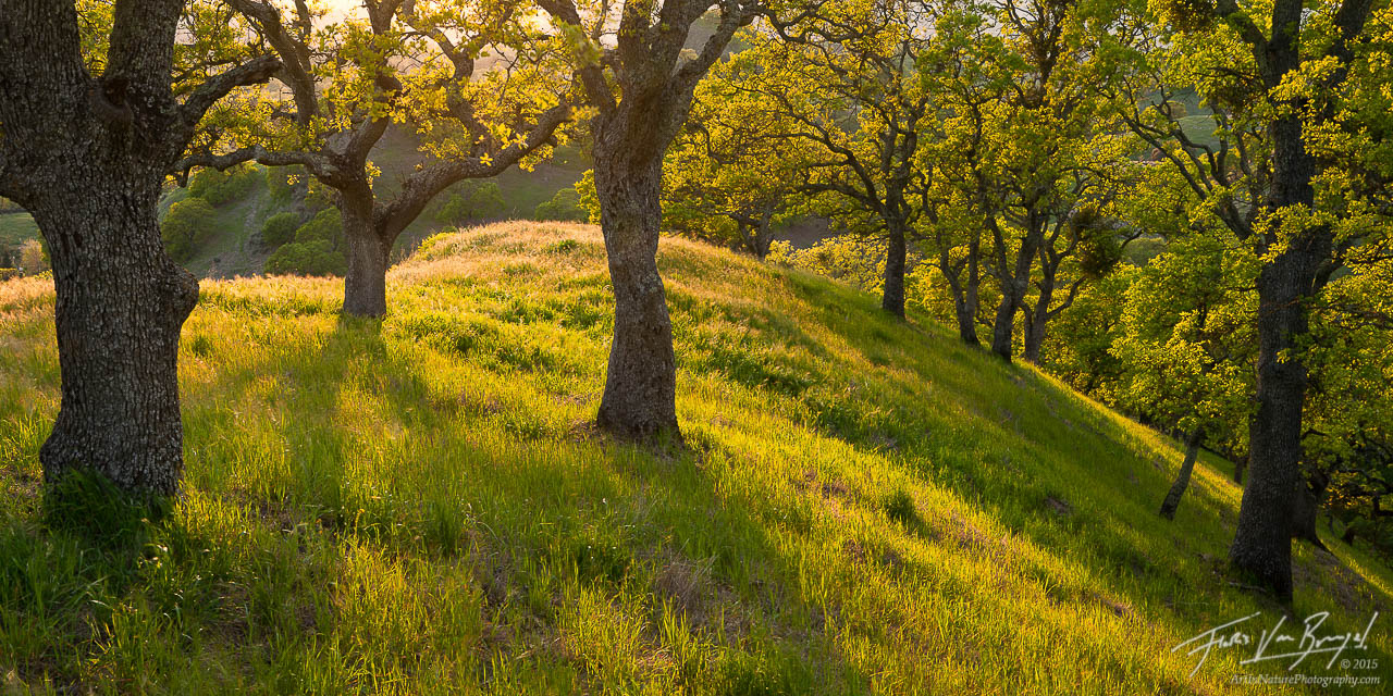 Mt Diablo Oak Trees, California, sunshine, spring, photo