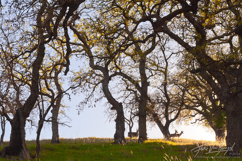 Mt Diablo State Park, Deer, Oak Trees, photo