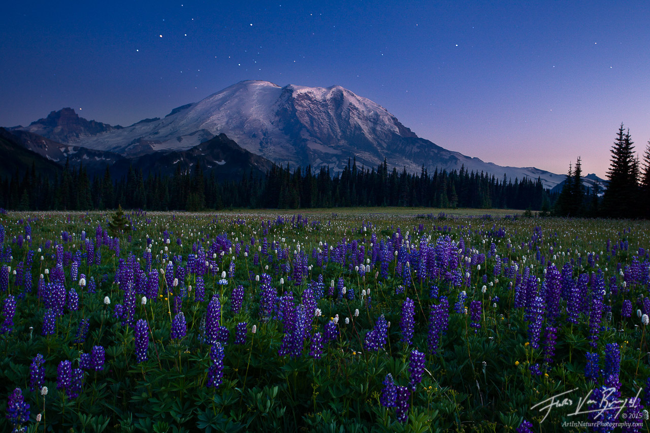 Mount Rainier with Spring Lupine Flowers and Twilight Stars, Mount Rainer National Park, Washington,