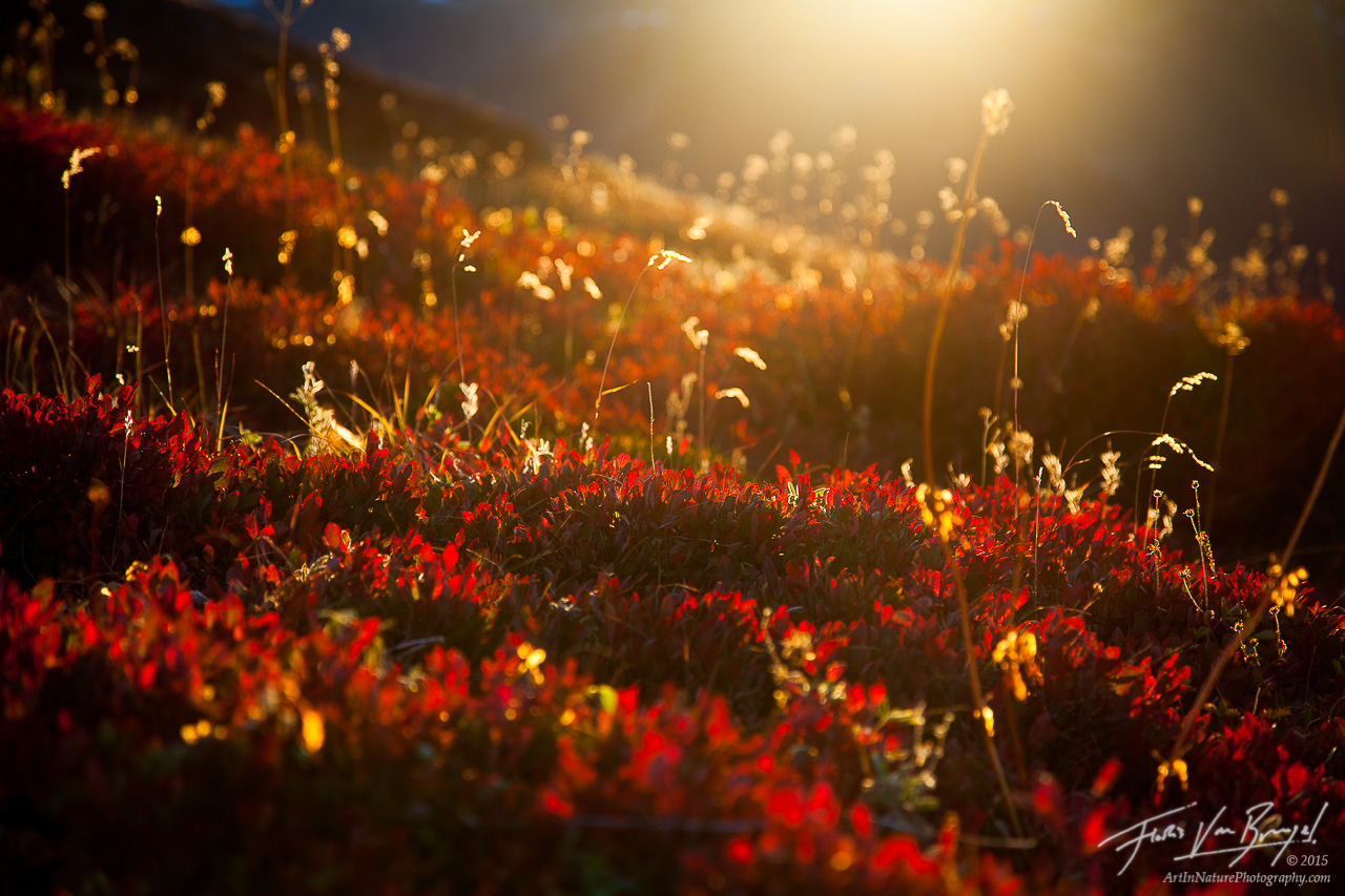 North Cascades Blueberry Patch in Fall, Sunrise, Washington , photo