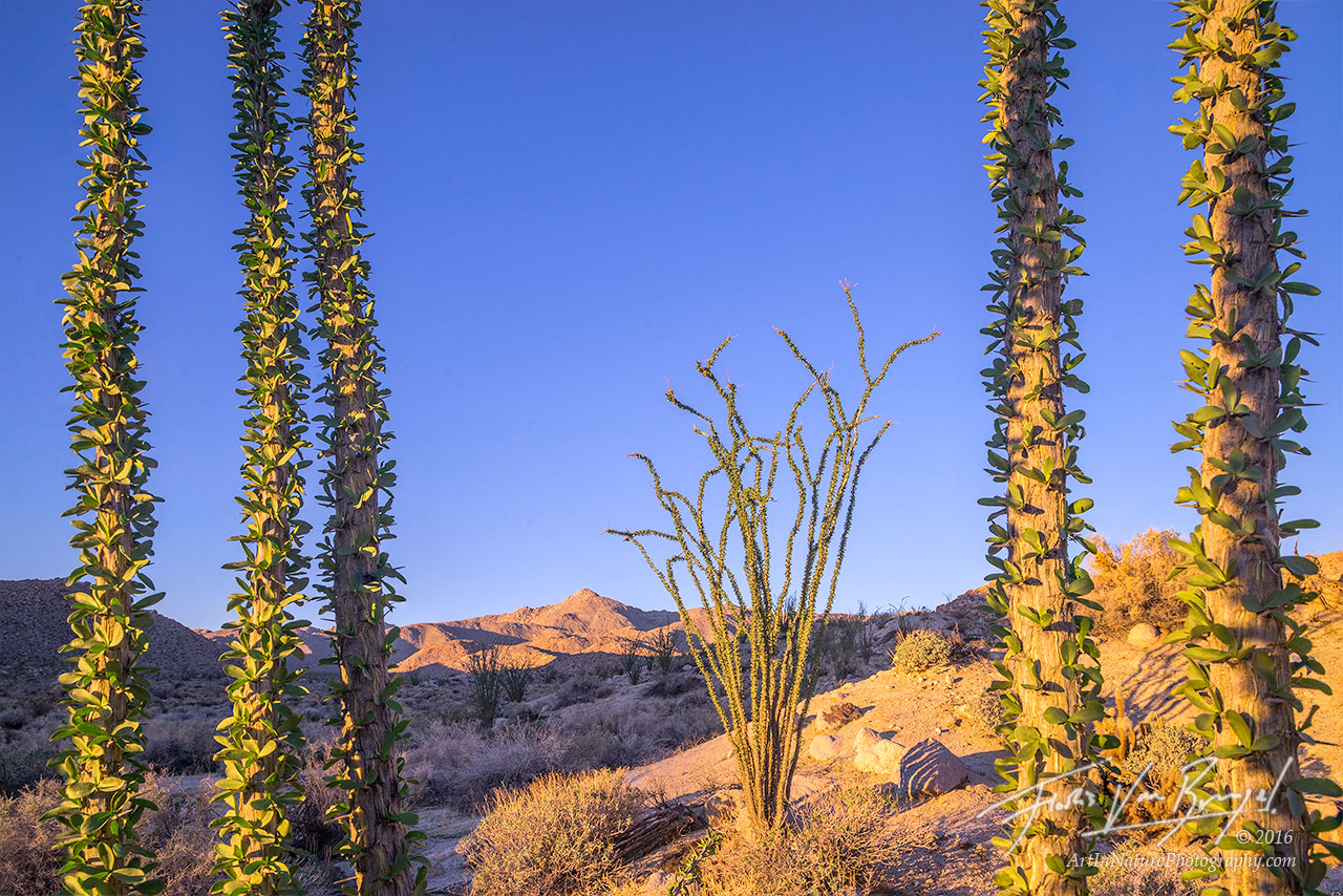 Ocotillo, Anza-Borrego State Park, California, photo