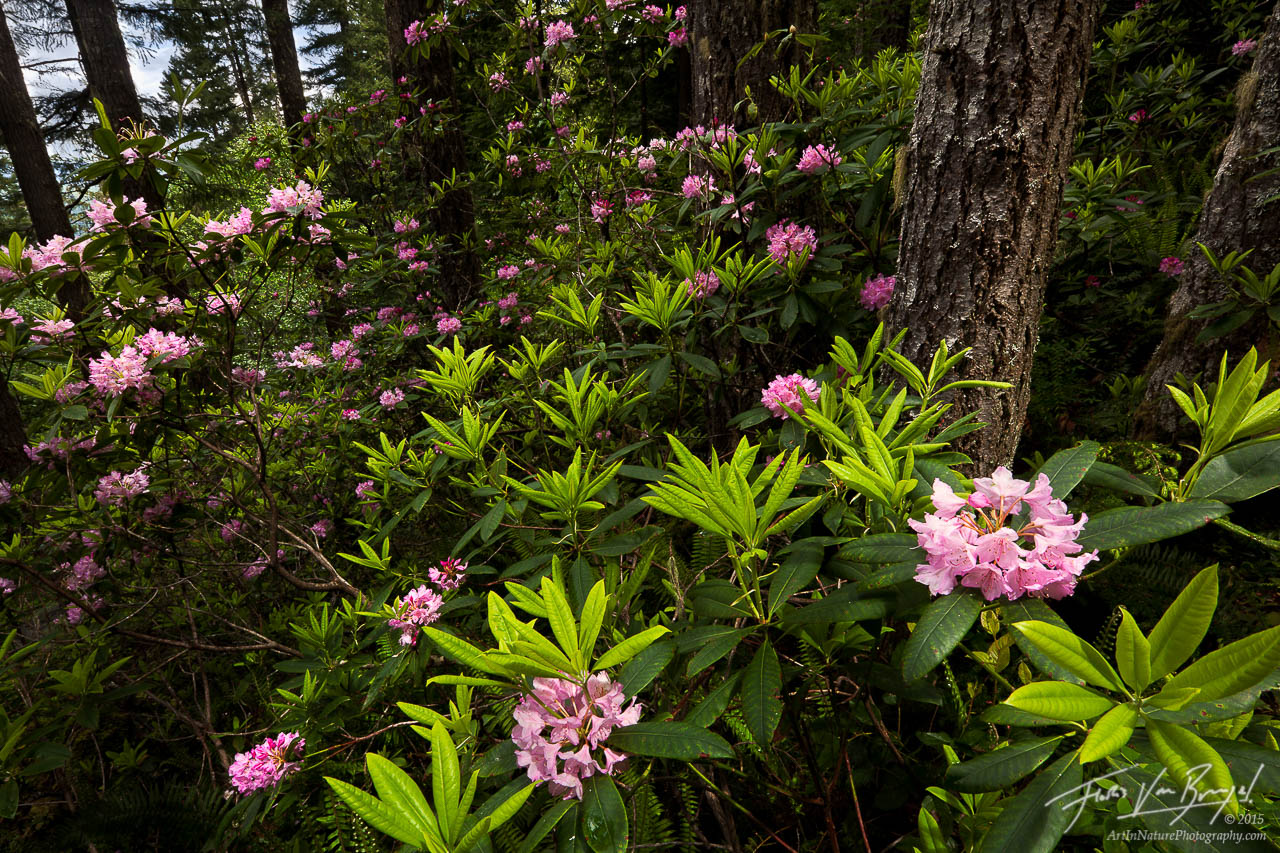 Wild Rhododendrons, Olympic National Forest, Washington, photo
