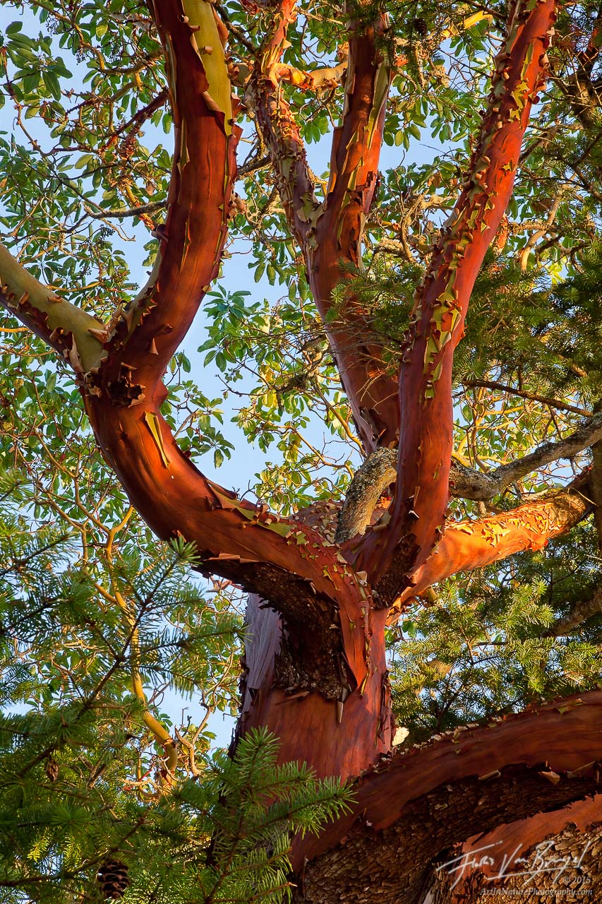 Pacific Madrone, San Juan Islands, Washington, photo