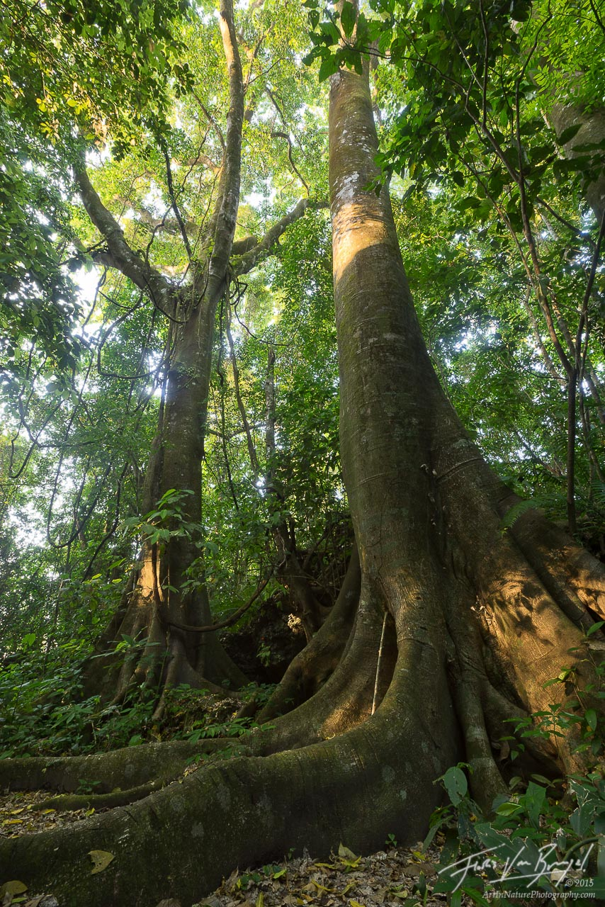 Ceiba in the Palenque Jungle, Chiapas, Mexico, photo