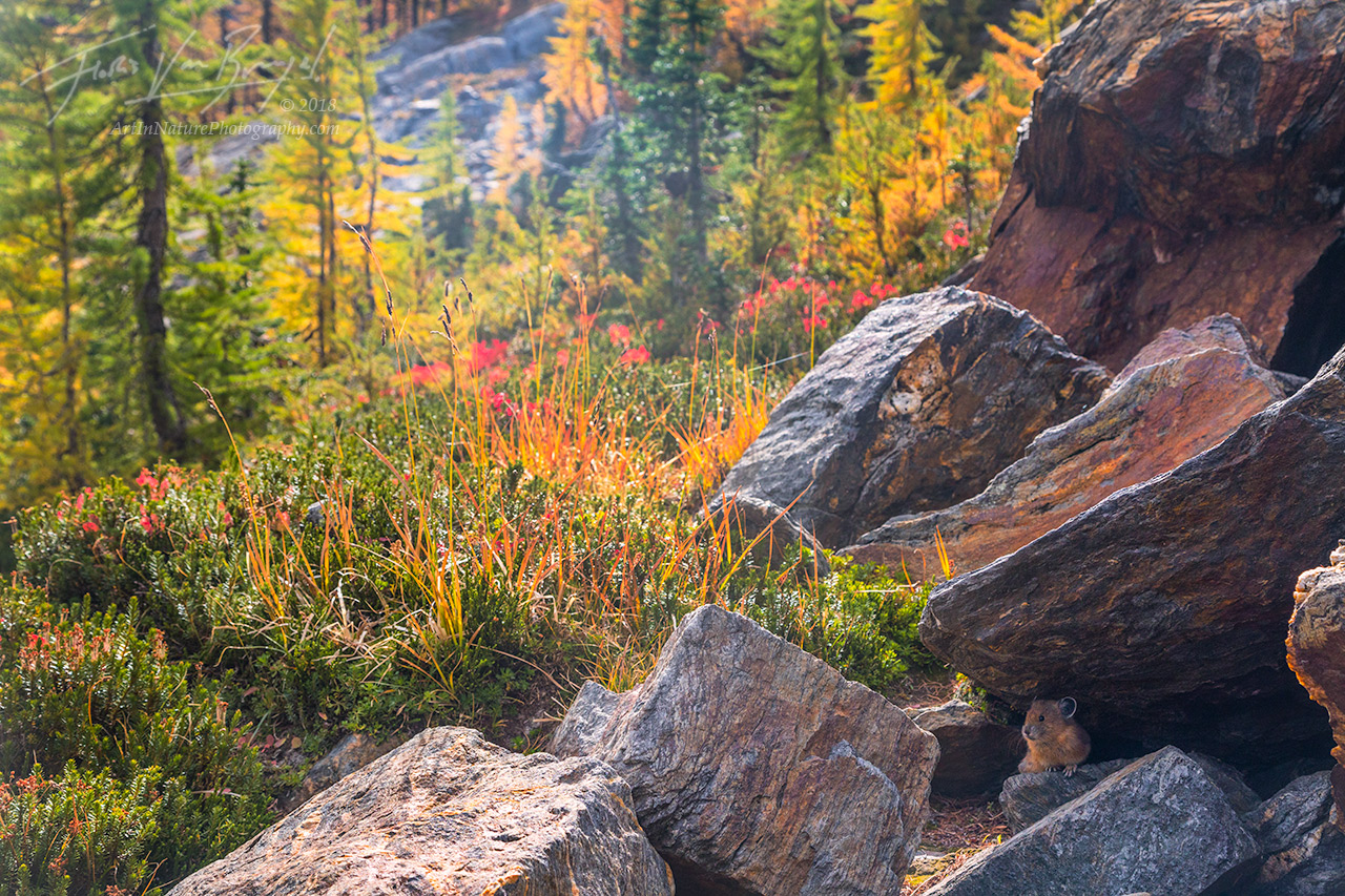 Cascades, Pika, Autumn, photo