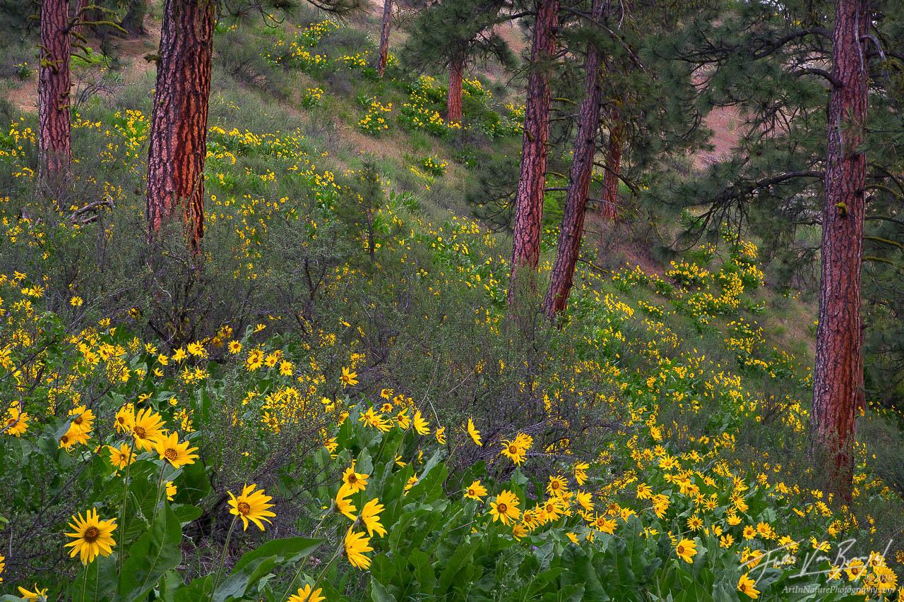 Ponderosa Forest, Spring Flowers, Leavenworth Washington, photo