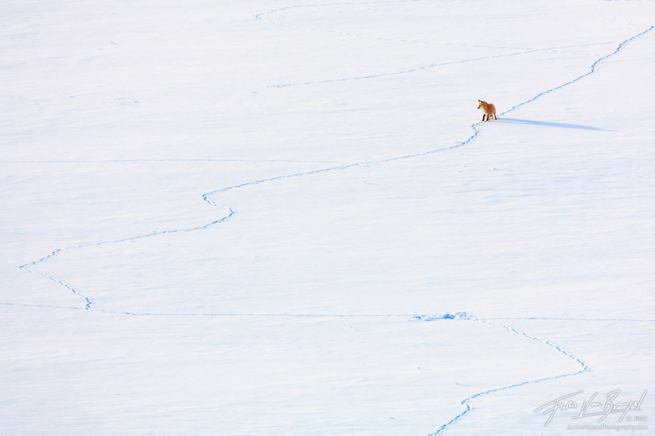 Red Fox Hunting, Lamar Valley, Yellowstone National Park, hunting trails, lamar valley, photo
