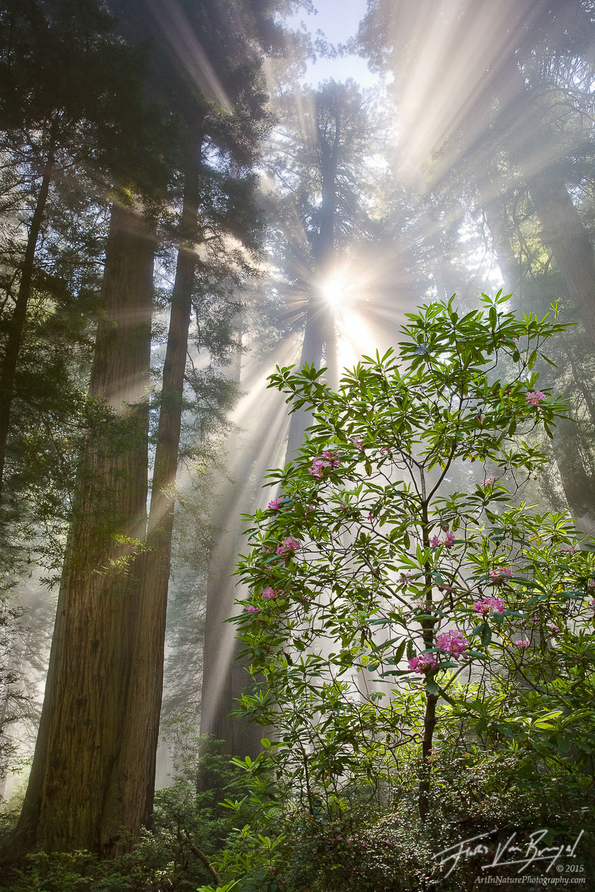 Redwoods and Rhododendrons, Fog and Sun, California, photo