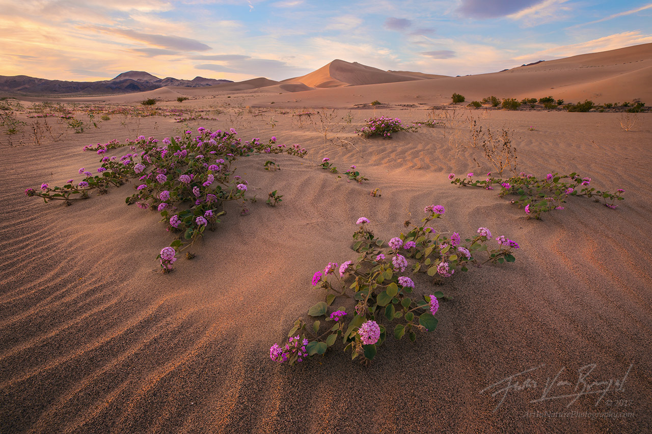 Flowers, Death Valley National Park, Spring, photo