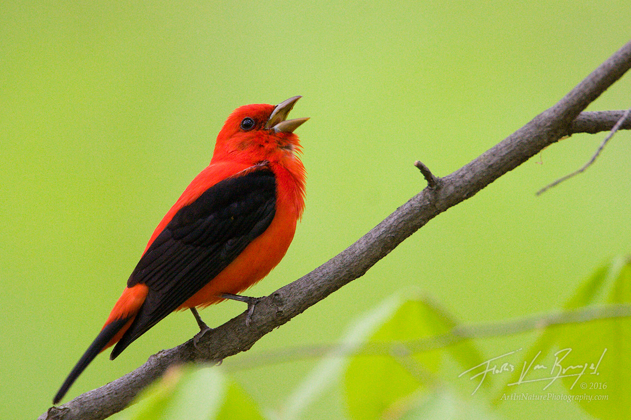 Scarlet Tanager, Sapsucker Woods, Ithaca, photo