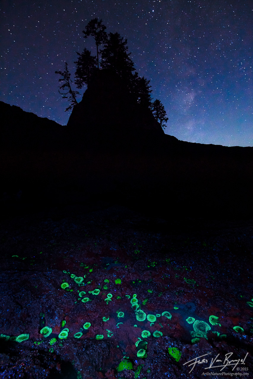 Green Fluorescent Protein, Sea Anemone, Olympic National Park, photo