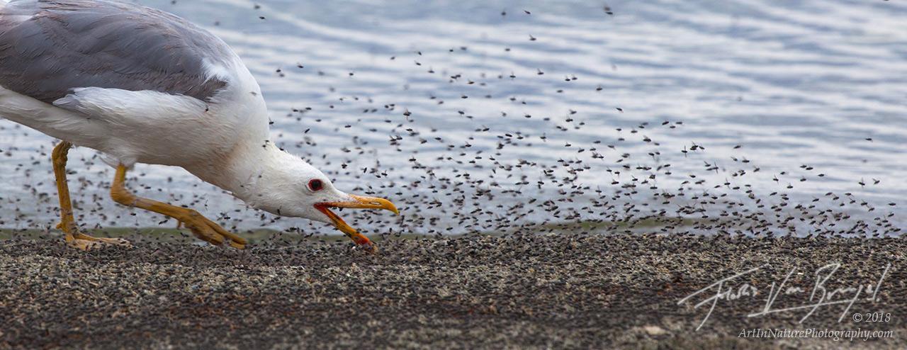 mono lake, seagull, alkali flies, flies, photo
