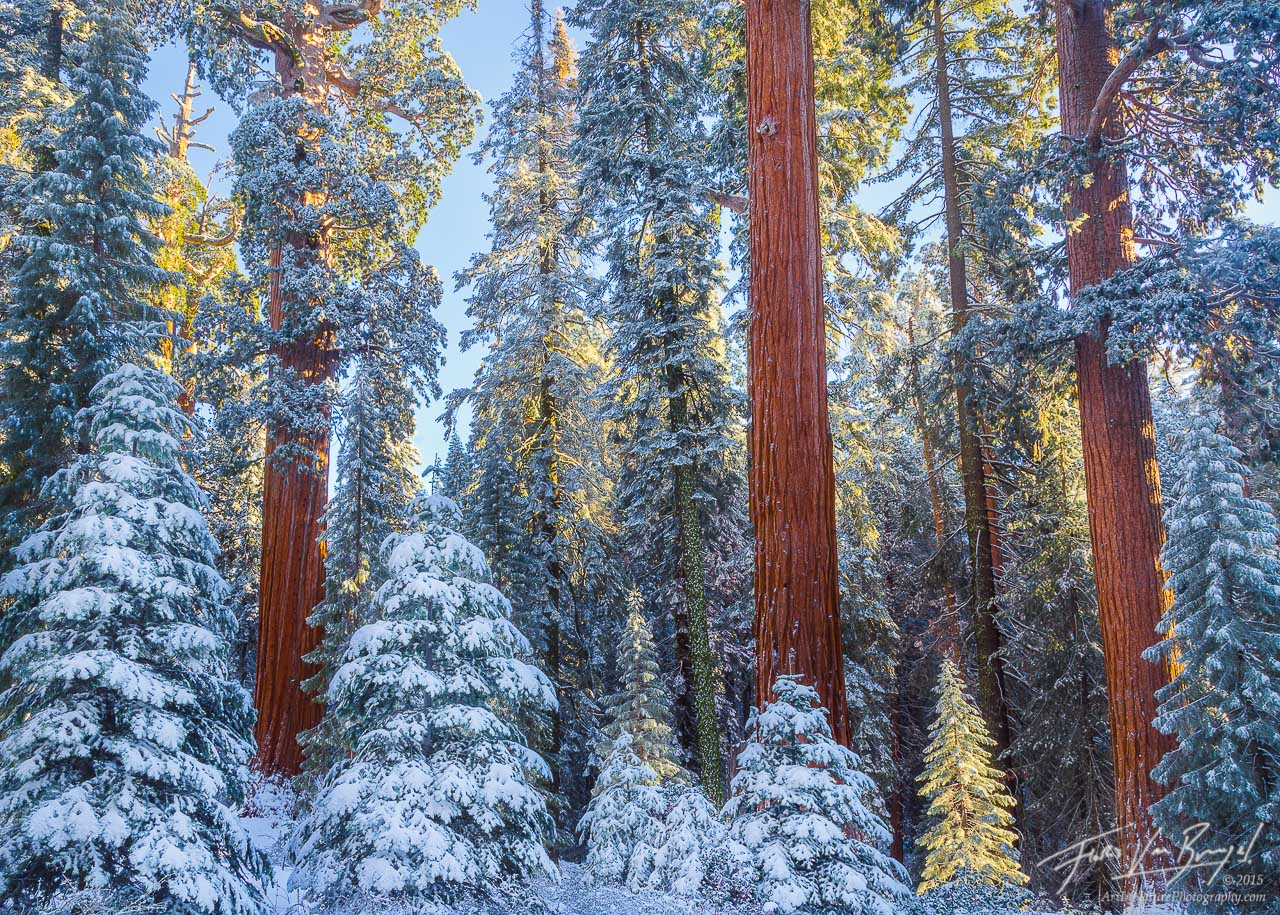 Giant Sequoias, Snow and Sunshine, Winter, photo