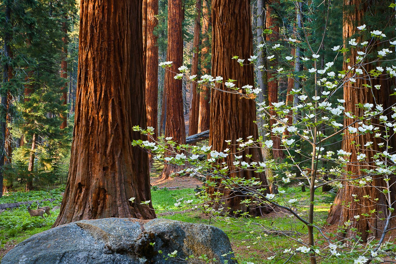 Spring Dogwoods with Giant Sequoias and Deer, Sequoia National Park, California, Sequoiadendron, giganteum, photo