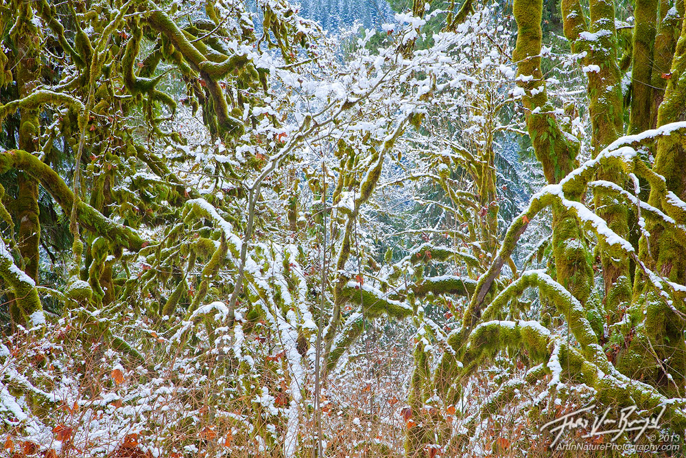 Snow Mossy Trees, Mount Baker National Forest, Washington, photo