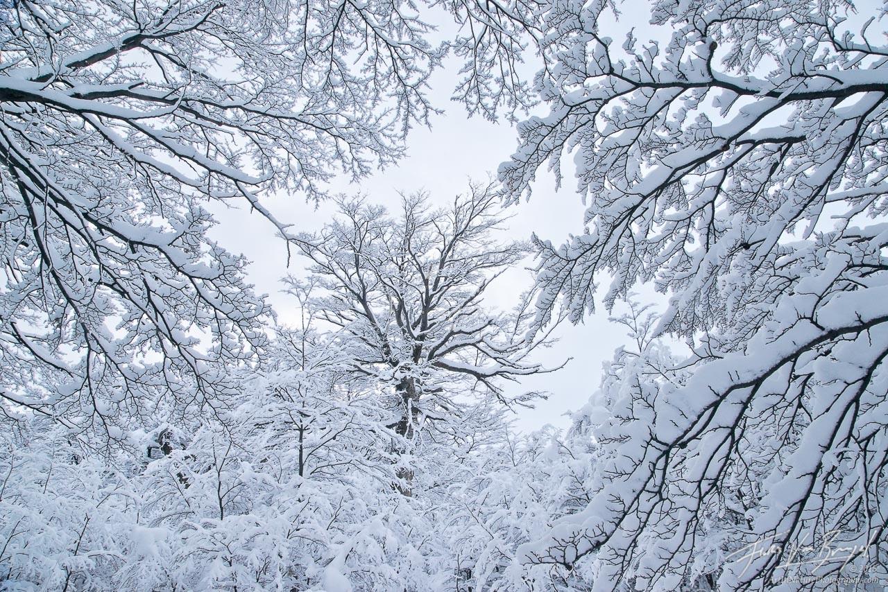 Snow Forest, El Chalten, Patagonia, photo