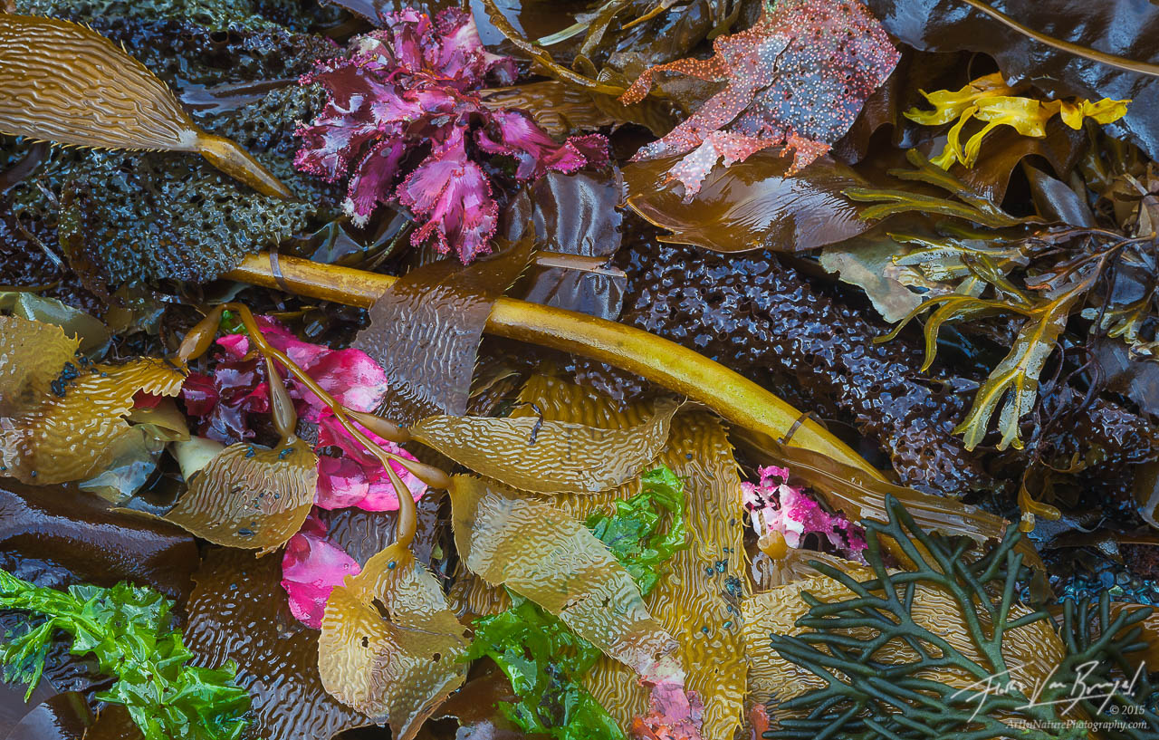 Seaweeds, Chichagof Island, Southeast Alaska , photo